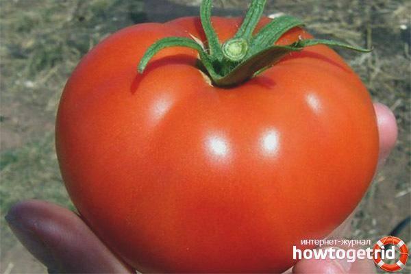 Описание сорта томата флажок, его характеристика и урожайность
