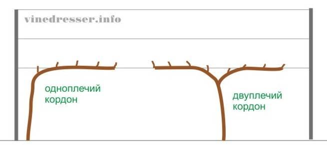 Высокоурожайный гибрид винограда юбилей херсонского дачника