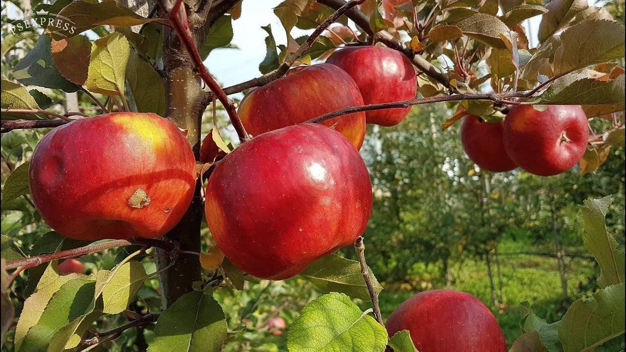 Скороплодная и ранняя яблоня июльское черненко: описание, фото, отзывы