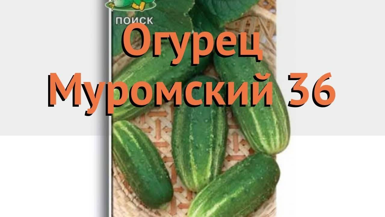 Огурец «амур f1»: описание гибридного сорта, фото и отзывы
