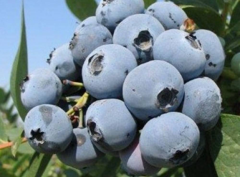 Высокорослая голубика блюкроп: характеристики, выращивание, сроки созревания