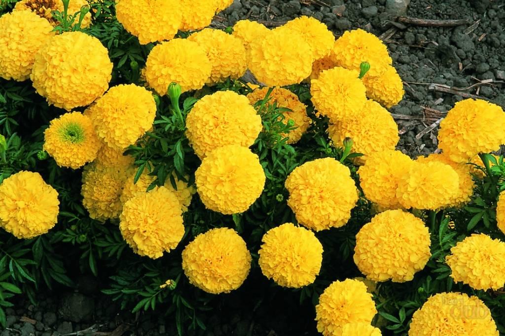 Бархатцы низкорослые: сорта и правила выращивания