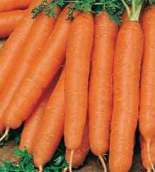Морковь шантане: описание и характеристика сорта, виды, относящиеся к нему, например, роял, курода, правила выращивания, а также похожие корнеплоды