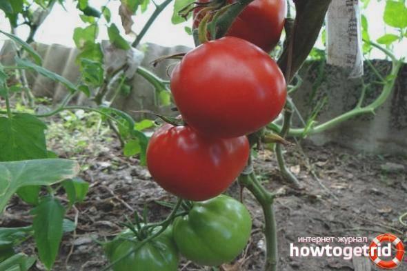 Томат салатный темная королева. его описание, нюансы выращивания, положительные и отрицательные стороны