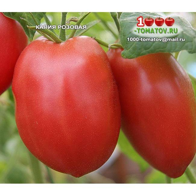 Томат капия розовая характеристика и описание сорта особенности выращивания