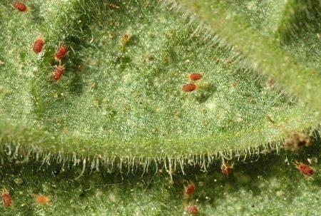 Борьба с болезнями огурцов в теплице