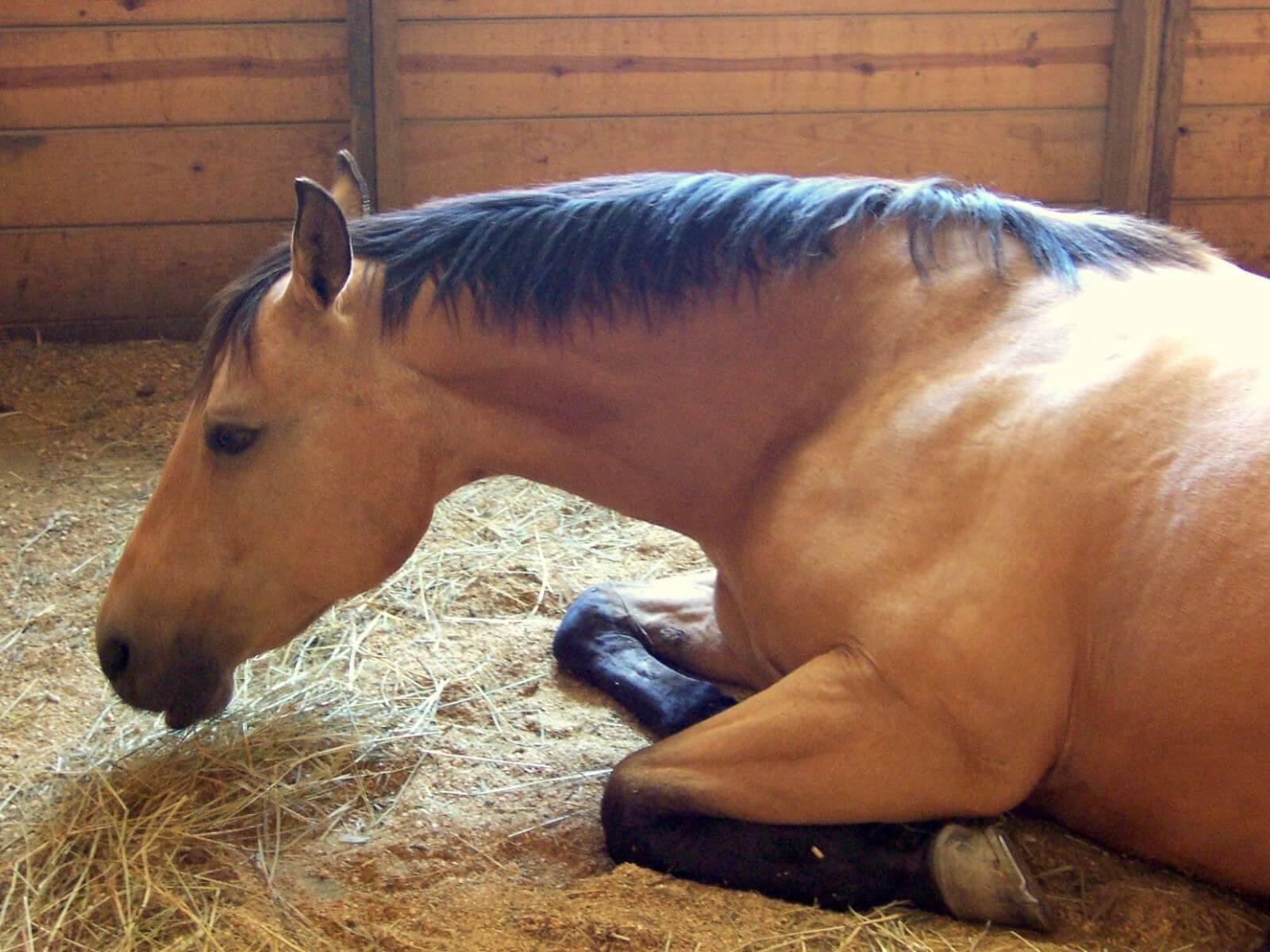 Сап у лошадей: симптомы, лечение и профилактика