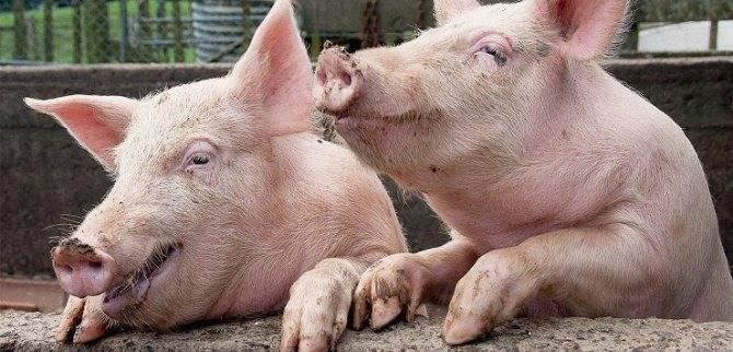 Цистицеркоз у свиней можно ли есть мясо