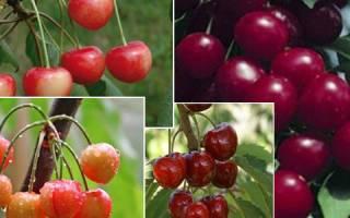 Гибрид вишни и черешни дюк: сорта для подмосковья