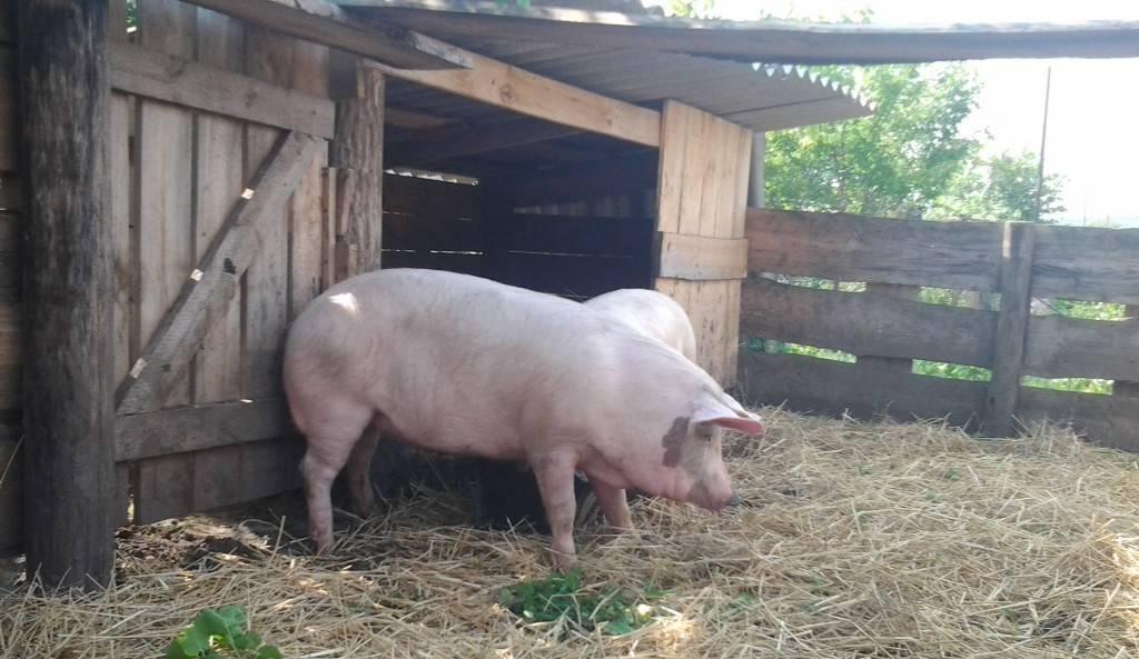 Как построить свинарник своими руками, виды, чертежи и материалы, пошаговая инструкция