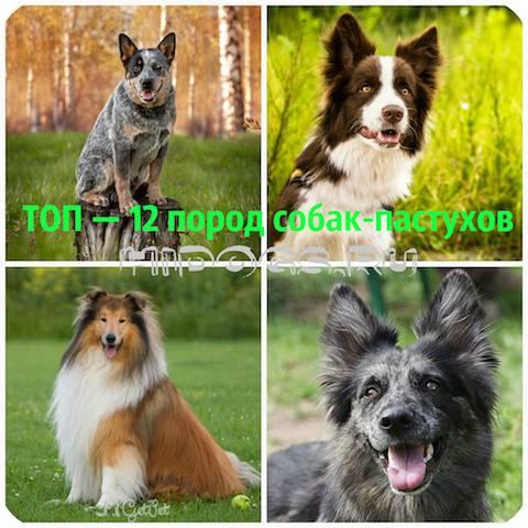 Описание топ-11 лучших пород собак, которые пасут овец и как выбрать щенка