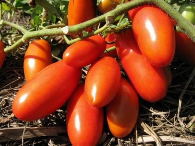 Описание и характеристики сорта томатов тарасенко, урожайность и выращивание