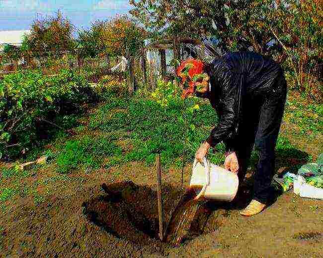 На, каком расстоянии сажать карликовые яблони друг от друга. если яблоньки на карликовом подвое?