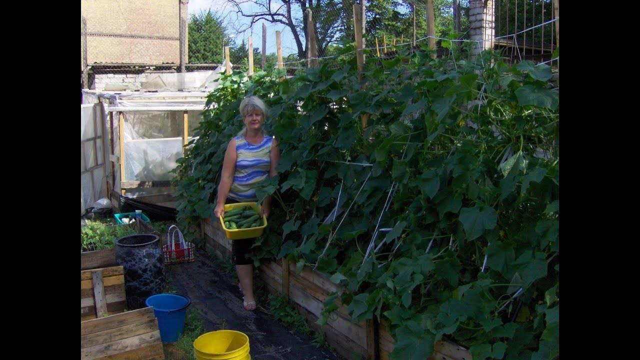 Как вырастить огурцы в открытом грунте