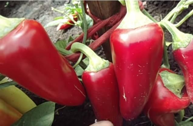 Сладкий перец воловье ухо: описание сорта, урожайность, отзывы огородников