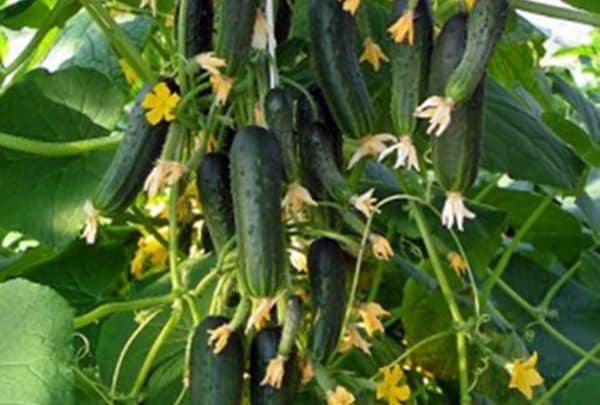 Огурец букетного типа сибирская гирлянда f1: получаем много зеленцов