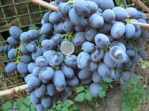 Виноград красотка: выращиваем без проблем