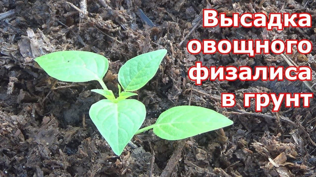 Как вырастить вкусные дыни в теплице: советы по подбору сортов и агротехнике
