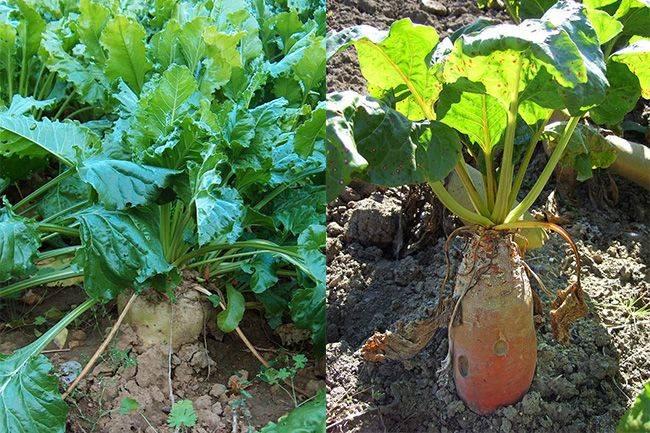 Обзор ранних сортов свеклы, а также особенности их выращивания