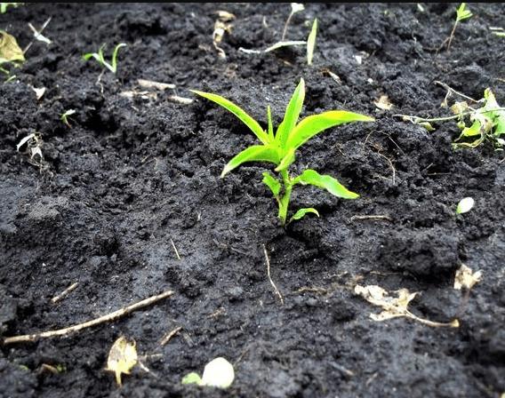 Правила и особенности выращивания персика из косточки на даче