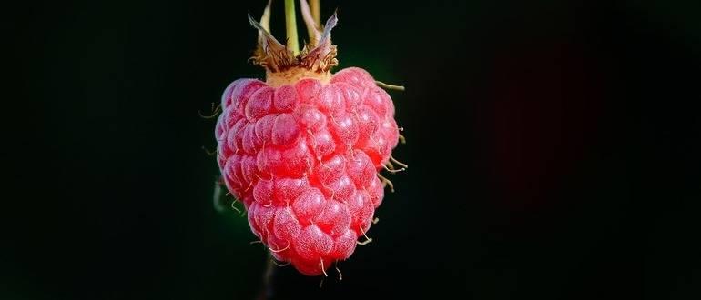 Описание и характеристики сорта малины Журавлик, выращивание и размножение