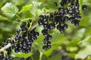 Осенняя посадка саженца смородины (черной, красной, белой)