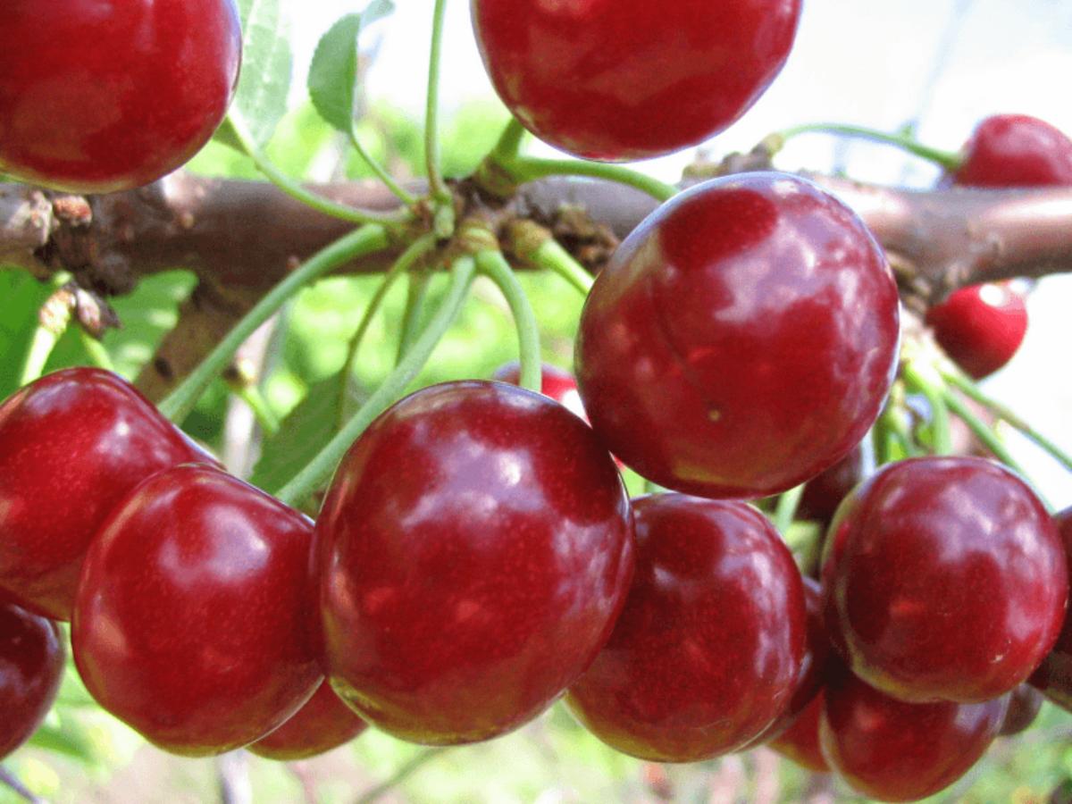 8 лучших сортов вишни для сибири: крупные, сладкие и вкусные