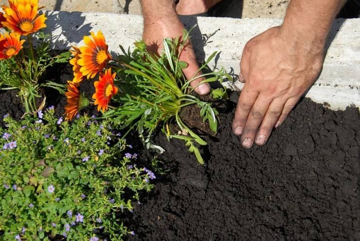 Выращивание газании в открытом грунте, инструкция с фото по посадке семян на рассаду. комплексный уход за газанией в открытом грунте