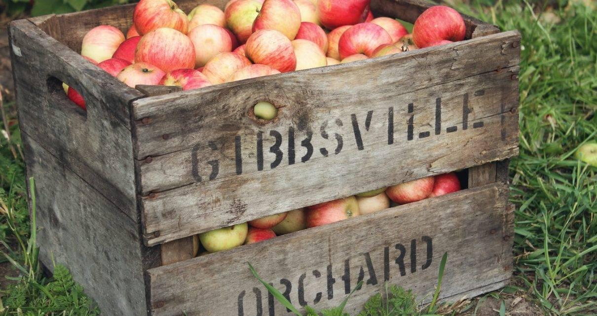 Сортовая яблоня уральское наливное: описание и фото