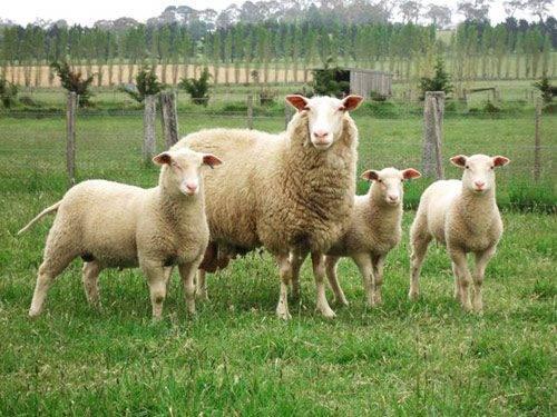 Отрасль животноводства— овцеводство горных и предгорных районов юга нашей страны