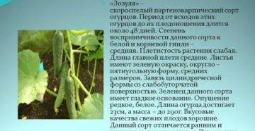 Сорта огурцов: зозуля f1