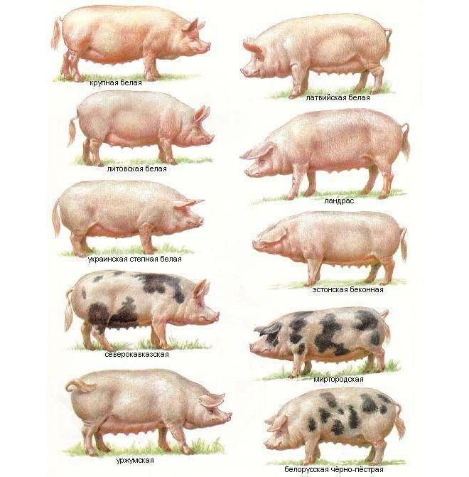 Описание пород свиней и критерии выбора для домашнего разведения