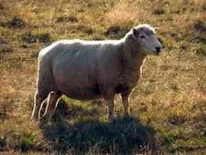 Порода овец