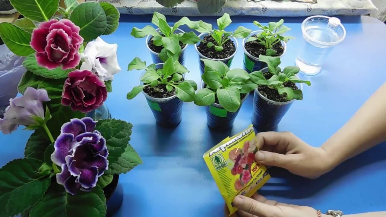Посадка, выращивание и уход за петунией в открытом грунте