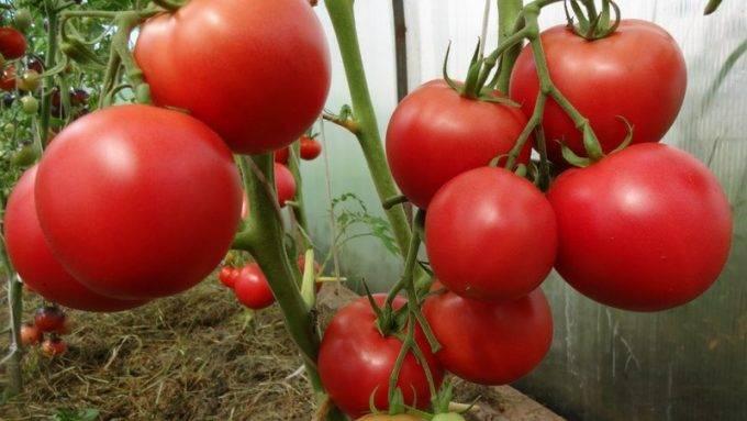Вкусный сорт универсального назначения — томат елена f1