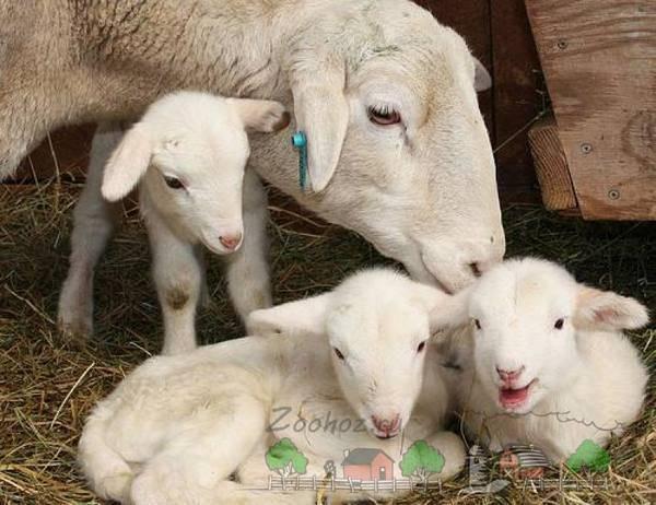 Как определить наличие беременности у козы: первые симптомы, продолжительность родов