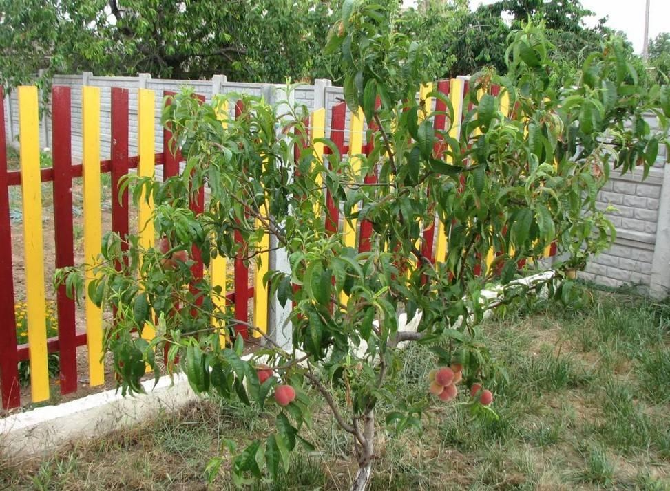 Обрезка персика весной для начинающих в картинках пошагово