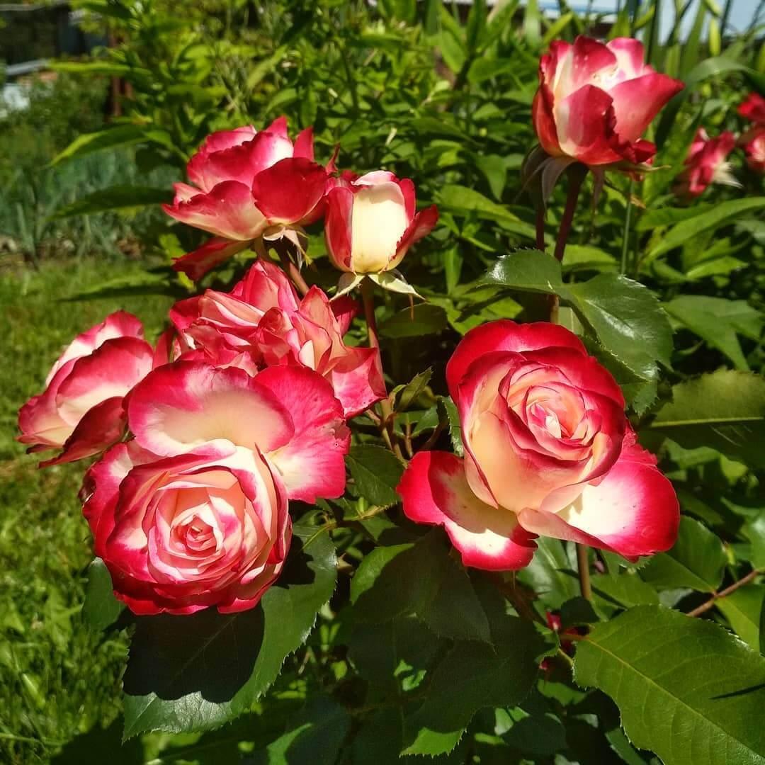 Очаровательная нежность — роза принцесса монако