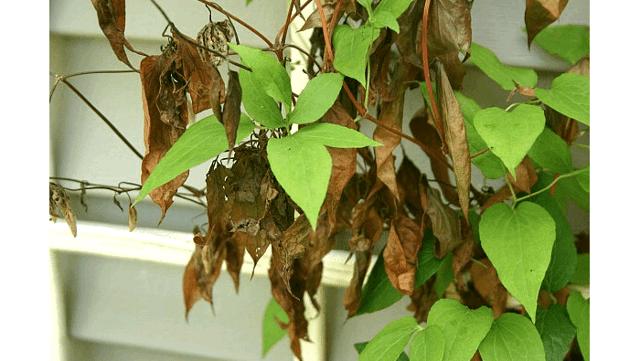 Болезни клематисов и их лечение — чем болеют цветы