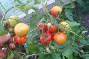 Крайний север — самый холодостойкий сорт томатов