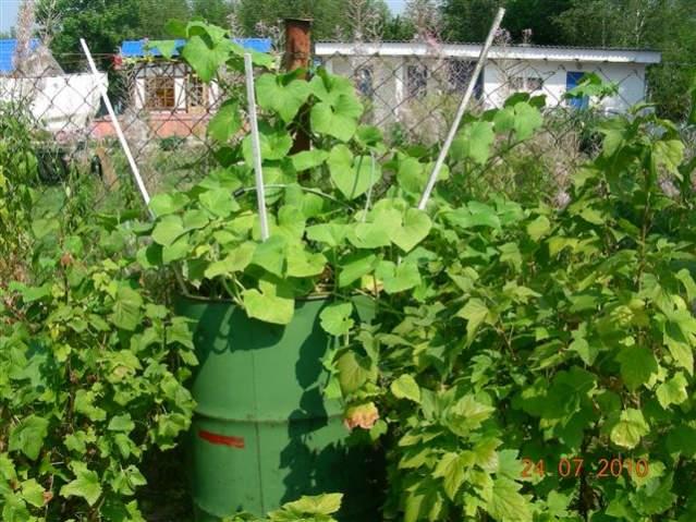 Как вырастить супер урожай огурцов в обычной бочке