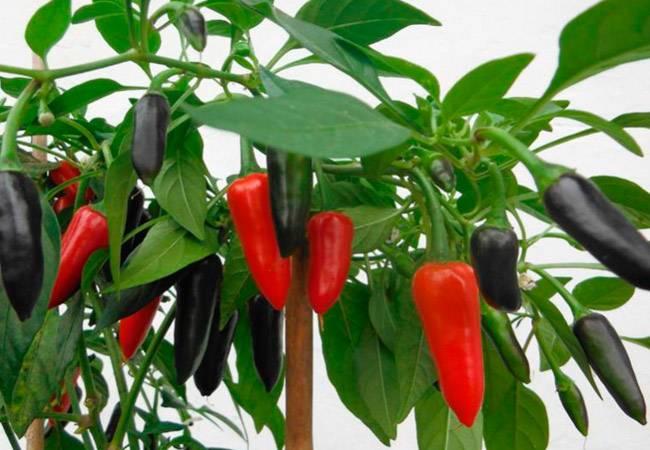 Как вырастить перец чили в домашних условиях на подоконнике: пошаговая инструкция и секреты опытных фермеров