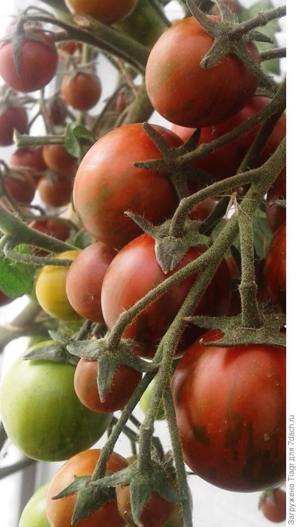 Томат полосатый рейс: описание сорта, урожайность и выращивание с фото