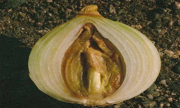 Почему гниет лук при хранении