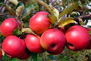 Сортовая яблоня мечта