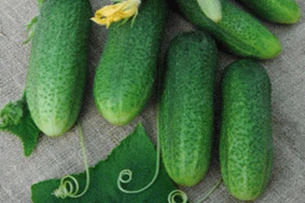 Описание сорта огурцов Доломит, его характеристика и урожайность