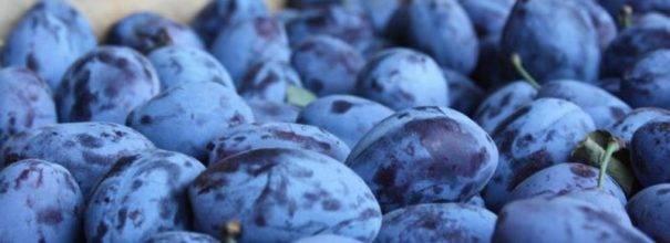 Сорт сливы стенли – вкусные и крупные плоды для всей семьи