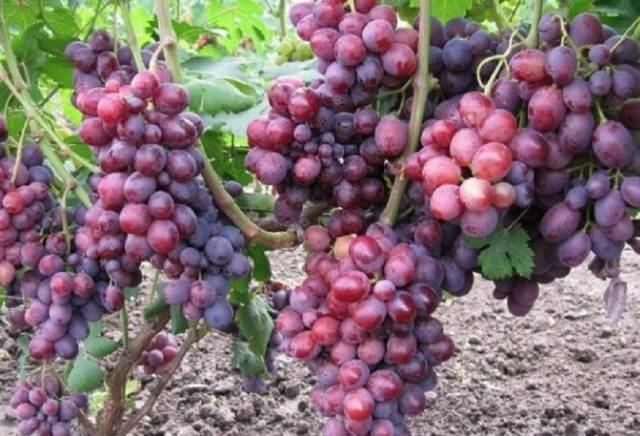 Описание и история сорта винограда Заря несветая, выращивание и уход