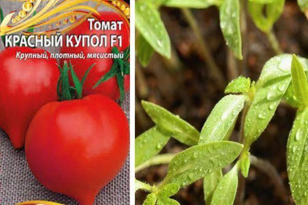 Устойчивые помидоры с высокой урожайностью для теплицы и грунта — томат «золотые купола»