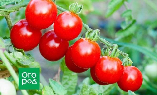Томат чио чио сан: характеристика и описание сорта, выращивание и урожайность с фото